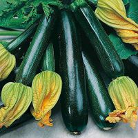 ScoutSeed Courgette Dunja...
